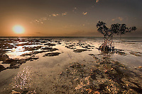 Red Mangrove at sunrise in the Florida Keys National Marine Sanctuary, Bahia Honda. Rocks are fossilized coral reef (limestone and calcium carbonate).