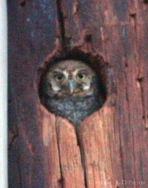 Elf owl. This picture of the owl peeking out of its roost hole was taken in the dark at ISO 6400 and manually focused so naturally the image is grainy and not quite sharp, but a first elf owl for me.