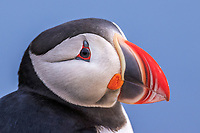 Atlantic puffin, or common puffin, Fratercula arctica, Latrabjarg, Westfjords, or West Fjords, Iceland