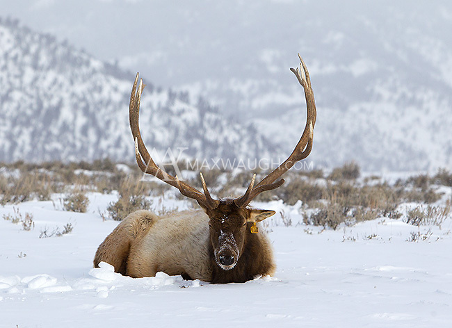 Elk #10 was an icon of Yellowstone's northern range.  Here he's seen during one of his final winters on Blacktail Plateau.