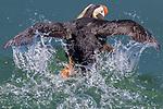 USA, Alaska, Glacier Bay National Park, tufted puffin (Fratercula cirrhata)