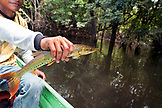 BRAZIL, Agua Boa, fishing guide holding a Picua fish, Agua Boa River and resort