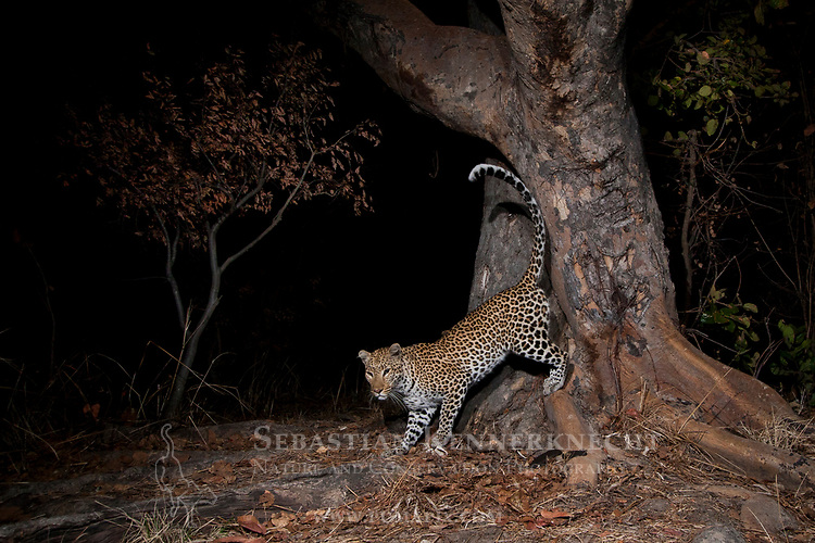 African Leopard (Panthera pardus) female scent-marking spray-tree at night, Kafue National Park, Zambia
