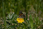 butterfly, insect, dandelion, Lulu City site, summer, afternoon, Rocky Mountain National Park, Colorado, Rocky Mountains, USA