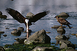A bald eagle eating a fish near Haines, Alaska.