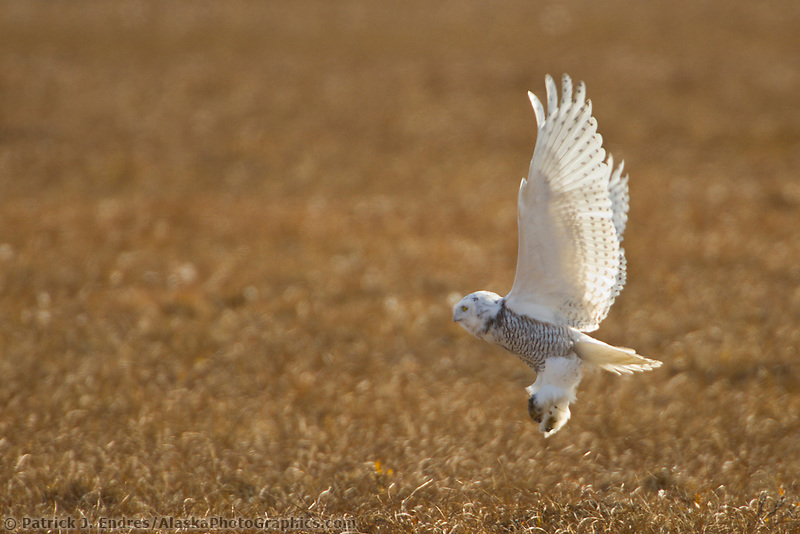 Snowy owl lifts off with rodent in the talons, Arctic North Slope, Alaska.