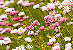 Everlastings - Rosy Everlasting flowers, Rhodanthe Chlorocephala Rosea, Kings Park, Perth, Western Australia