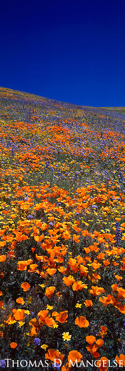 A hillside of poppies and other wildflowers in the Tehachapi Mountains in California.