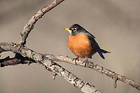 American Robin (Turdus migratorius migratorius), Eastern subspecies, male in New York City's Central Park.