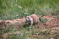 Black-tailed prairie dogs live near Devils Tower in Wyoming on August 15, 2010.