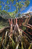 Prop roots of Red Mangrove (Rhizophora mangle) and Turtle Grass (Thalassia testudinum) Florida Bay, Florida Keys National Marine Sanctuary, Islamorada, Florida