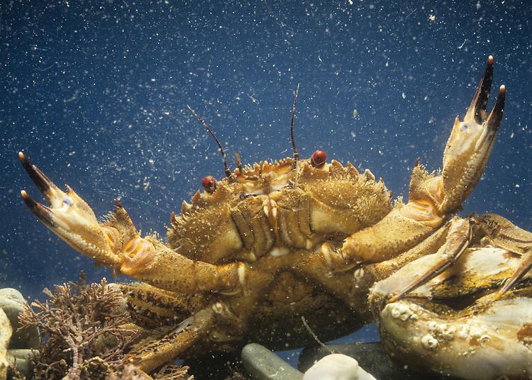 Velvet Swimming Crab - Necora puber