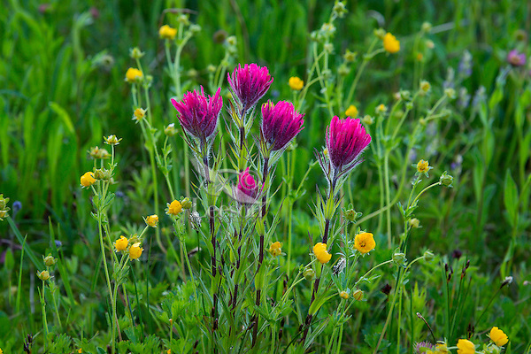 Magenta Paintbrush (Castilleja parviflora) growing among Subalpine Buttercups (Ranunculus eschscholtzi).  Washington Cascade Mountains.  Summer.