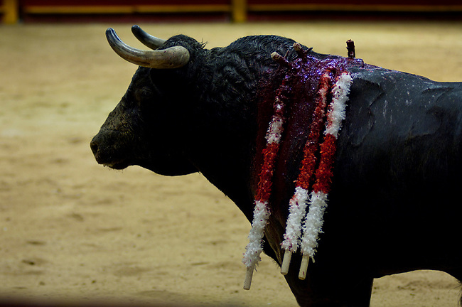 At La Macarena Stadium, a bloodied bull has been lanced multiple times to weaken his body.  The Festival of the Bulls is a month long celebration of bullfighting.  Colombia is one of the few Latin American countries where the original form of bullfighting is still practiced.