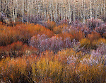 Autumn aspen trees and willows, Upper Logan River Canyon, Wasatch Mountains