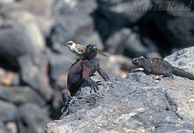 Galapagos Mockingbird (Mimus parvulus) foraging for ectoparasites on Marine Iguana (Amblyrhynchus cristatus), Santa Fe Island, Galapagos Islands, Ecuador<br /> B135-1205