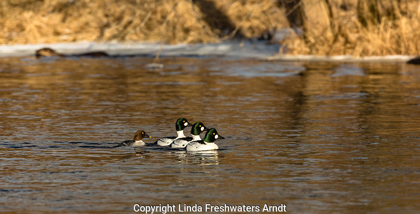Common goldeneye with a river otter swimming in the background