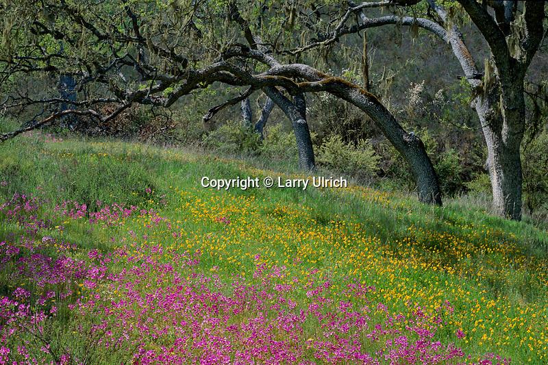 Padres shooting star, johnny-jump-ups and blue oaks<br /> Gabilan Range<br /> Pinnacles National Monument<br /> San Benito County,  California