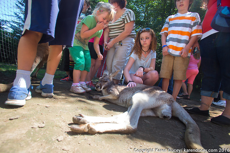 Children pet a wallaby at the Outback Kangaroo Farm in Arlington, Wash. on July 20, 2016. (photo © Karen Ducey Photography)