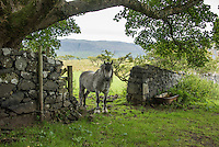 A pony on the Isle of Ulva, Scotland.