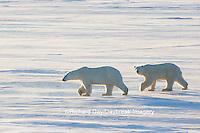 01874-14302 Polar Bears (Ursus maritimus)  in Cape Churchill Wapusk National Park,  Churchill, MB Canada
