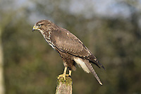 Common Buzzard - Buteo buteo. Wingspan 115-130cm. Britain's commonest medium-sized bird of prey. Soars with broad, rounded wings held in shallow 'V', with tail fanned. Plumage is very variable and some birds are very pale. Sexes cannot be distinguished by appearance. Adult is typically brown overall; breast is finely barred and usually paler than throat or belly. In flight and from below, flight feathers and tail are grey and barred; note dark trailing edge to wings and dark terminal band on tail. Body and underwing coverts are contrastingly dark (carpal patch is darkest) and pale breast band can usually be seen. Juvenile is similar to adult but lacks terminal dark band on tail and obvious dark trailing edge to wings. Voice – utters a mewing pee-ay. Status and habitat – Present throughout the year and widespread, least numerous in east. Usually associated with lightly wooded farmland.