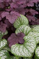 Brunnera macrophylla 'Jack Frost' AGM & Heuchera 'Plum Pudding'