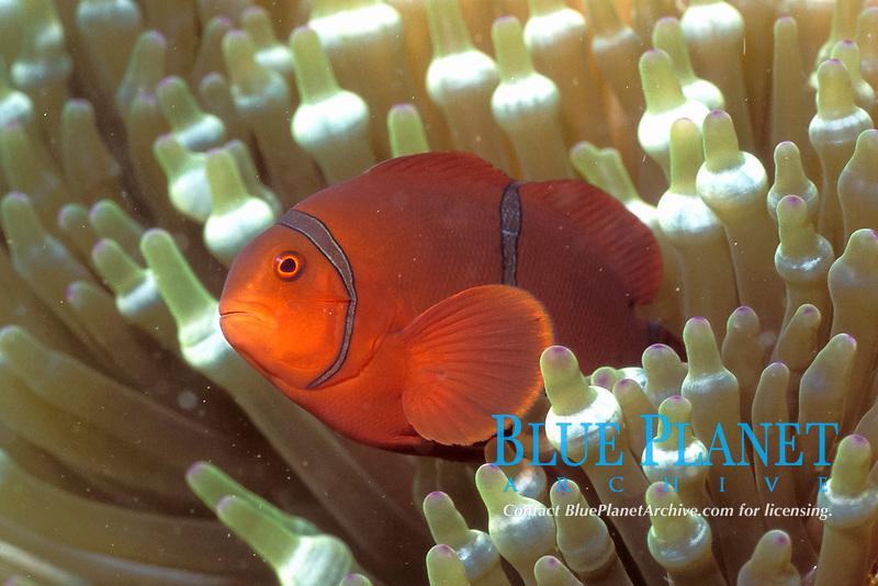 Spinecheek Anemonefish in Bulb-tenacle Sea Anemone, Premnas biaculeatus in Entacmaea quadricolor, Solomon Islands