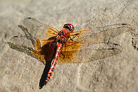 389190005 a wild male red rock skimmer dragonfly paltothemis lineatipes perches on a rock along piru creek at frenchmans flat los angeles county california
