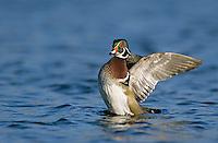 Wood Duck, Aix sponsa,male flapping, New Braunfels, Texas, USA, March 2001