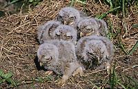 Steinkauz, Jungvögel, Küken Jungvogel, Stein-Kauz, Kauz, Käuzchen, Athene noctua, little owl