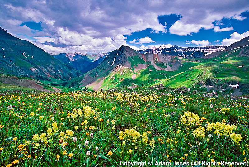 Yellow Paintbrush flowers and Sneffels Range, Colorado Rockies near Ouray, Colorado