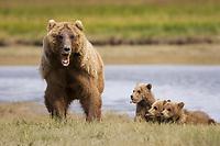 BooBoo and Corona, Lady Hook's spring cubs. Kodiak grizzly bear (Ursus arctos middendorffi), Hallo Bay, mother and three spring cubs. Kodiak grizzly bear (Ursus arctos middendorffi), Hallo Bay