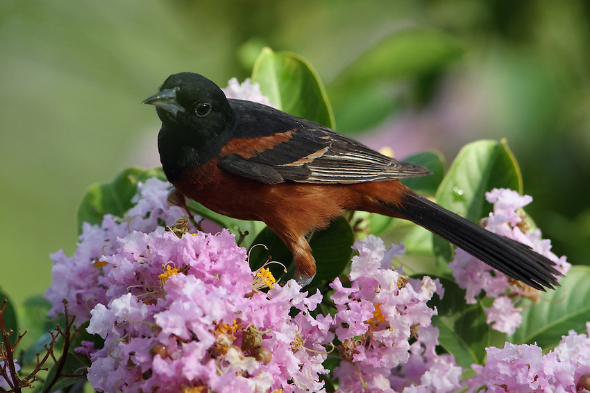 The smallest North American oriole. The rich chestnut color of the adult Orchard Oriole male can be so dark that he may appear all black before you get your binoculars on him.