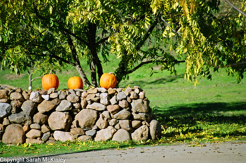 Pumpkins decorate a stone wall fence along Old River Road between Hopland and Ukiah in Mendocino County in Northern California.