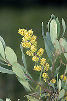 BOG-MYRTLE Myrica gale (Myricaceae) Height to 1m<br /> Woody, brown-stemmed shrub that is characteristic of boggy habitats, usually on acid soils. FLOWERS are orange, ovoid male catkins and pendulous brown female catkins; on separate plants (Apr). FRUITS are brownish nuts. LEAVES are oval, grey-green and smell of resin when crushed. STATUS-Widespread but local; sometimes locally dominant.