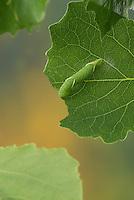 Pappelschwärmer, Raupe frisst an Zitterpappel, Pappel-Schwärmer, Laothoe populi, Sphinx populi, Poplar Hawk-moth, Poplar Hawkmoth, caterpillar, Le sphinx du peuplier, Schwärmer, Sphingidae, Hawkmoths, hawk moths, sphinx moths