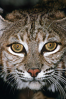 611009028 portrait of a wildlife rescue bobcat felis rufus at a wildlife rescue facility