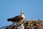 An osprey near Kelowna, British Columbia, Canada, on July 1, 2009, Notice the piece of a  plastic bag incorporated into the nest. Photo by Gus Curtis