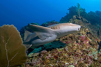 A very pregnant Nurse shark, Ginglymostoma cirratum, circles the fringing reefs off Ambergris Caye, Belize, Central America, Caribbean Sea.