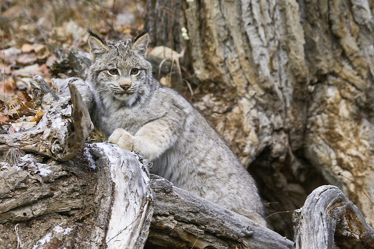 Canada Lynx leaning against the hollow of a tree stump - CA