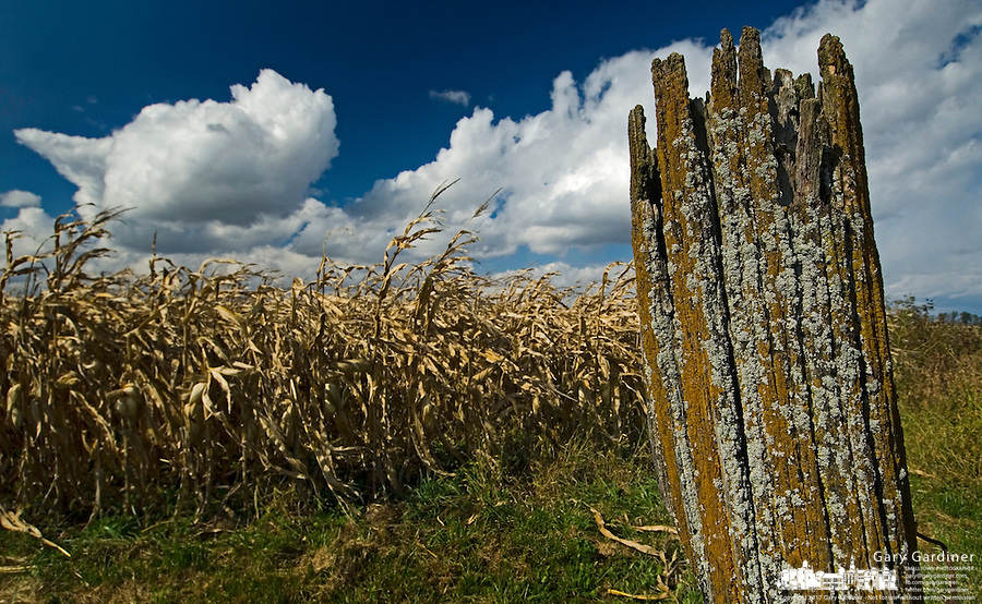 Algae and mold covered fence post at a fied of corn drying on the stalk at a farm near Jones, Ohio.<br />