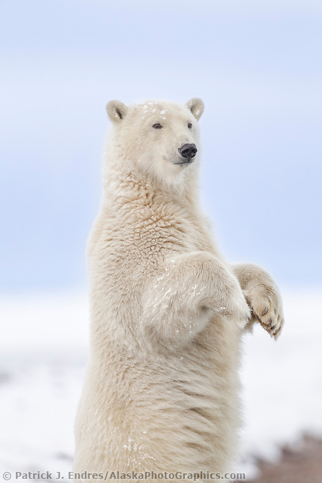 Polar bear stands up for a curious look along the shore of a barrier island in Alaska's Beaufort Sea, Arctic National Wildlife Refuge.