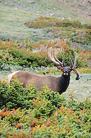 Elk, Wapiti (Cervus elaphus), bull, Rocky Mountain National Park, Colorado, USA