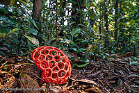 Rarely seen basketball-sized Clathraceae fungus (Clathrus crispus) among leaf litter in lowland tropical rainforest, Bahuaja-Sonene National Park, Madre de Dios, Peru.