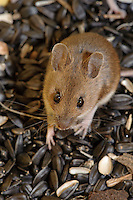 Wood mouse (Apodemus sylvaticus) in a bin of black sunflower seeds.