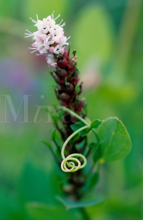 The curling tendrill of a beach pea takes up residence on a neighboring plant in Berners Bay in southeast Alaska.