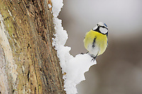 Blue Tit (Parus caeruleus) adult perched on snow, Zug, Switzerland, December 2007