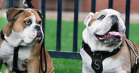 Super Bulldog Weekend Maroon and White game at Davis Wade - new Bully XXI, &quot;Jak&quot; takes over the harness from Bully XX, his father &quot;Champ&quot;.<br />  (photo by Megan Bean / &copy; Mississippi State University)