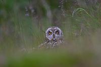 Sumpfohreule sitzt versteckt in einer Wiese, Sumpf-Ohreule, Asio flammeus, short-eared owl